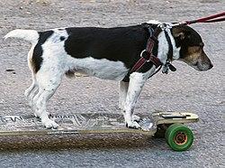 Dog on Skate Board.jpg