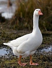 pune poza cere poza - Pagina 29 180px-Domestic_Goose
