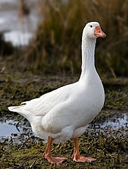 https://upload.wikimedia.org/wikipedia/commons/thumb/3/39/Domestic_Goose.jpg/181px-Domestic_Goose.jpg