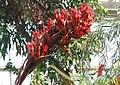 Doryanthes palmeri JPG1b.jpg