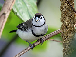 Double-barred Finch RWD2.jpg