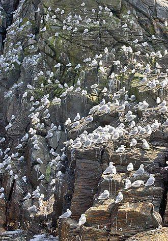 Bird cliff - Image: Dreizehenmoewen