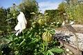 Drie-urenbloem (Hibiscus trionum) 04.jpg