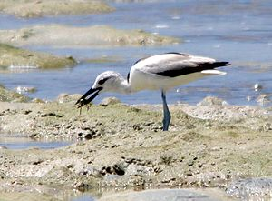 Crab-plover - Crab-plover eating a crab