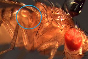Halteres - Drosophila (fruit fly) haltere: knob-shaped structure indicated by blue circle