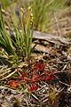 Drosera rotundifolia PID1864-3.jpg