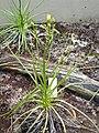 Drosophyllum lusitanicum RBGK.JPG