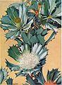 Dryandra sessilis (Edgar Dell).jpg