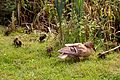 Ducks at Chester Zoo.jpg
