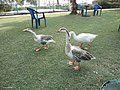 Ducks in the Quaid-e-Azam Park - panoramio.jpg