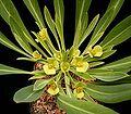 E bupleurifolia2 ies.jpg