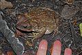 Eastern Giant Toad (Peltophryne peltocephala) (8573972557).jpg