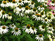 Echinacea purpurea 'White Swan' (in a flowerbed).jpg