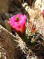 Echinocerius triglochidiatus, Hidden Valley 2267 RobbHannawacker.jpg