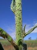 Echium vulgare stem1 (13942606415).jpg