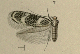 Ectoedemia jubae.png