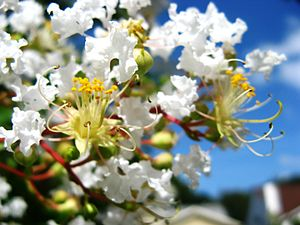 English: Closeup of inflorescence of a white c...