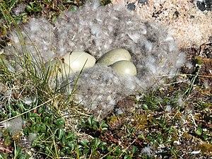 Allan Moses - Eider nest