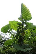 El Yunque nat park PR IMG 2130.jpg