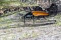 Elateridae sp 01(js) Lodz(Poland).jpg