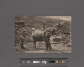 Elephant at work on New Estate, Ceylon (NYPL Hades-2359846-4044611).tiff