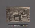 Elephant at work on New Estate, Ceylon (NYPL Hades-2359846-4044611).tiff