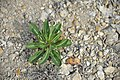 Eltonsky Nature Park. The plant Isatis tinctoria.jpg