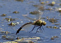 Emperor Dragonfly taking off (4721712614).jpg