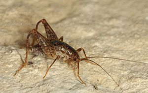 Endemic Cricket (10334275163).jpg