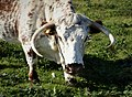 English Longhorn. Bos primigenius (36388006345).jpg