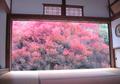 Enkianthus perulatus in Ankokuzen-ji.png