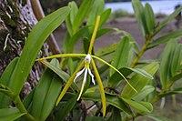 Epidendrum nocturnum - Flickr. 003.jpg