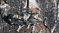 Epinotia pygmaeana - Pygmy needle tortricid - Листовёртка-иглоед пигмей (47995382223).jpg