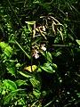 Epipactis palustris IMG 4347.jpg