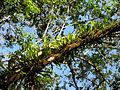 Epiphyte-laden Branch - Flickr - treegrow.jpg