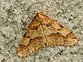Erannis defoliaria ♂ - Mottled umber (male) - Пяденица-обдирало (самец) (40216777914).jpg