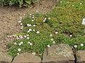 Erigeron grandiflorus1.jpg