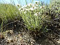 Erigeron pumilus (27587164405).jpg