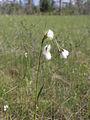 Eriophorum latifolium Kiiminki, Finland 16.06.2013.jpg