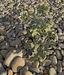 Eryngium maritimum, Vic-la-Gardiole 01.jpg