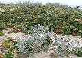 Eryngium maritimum kz18.jpg