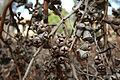 Eucalyptus cornuta.jpg