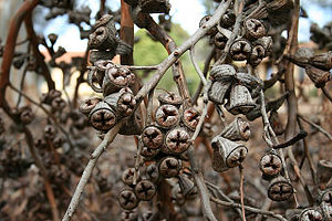 Eucalyptus cornuta - E. cornuta seed cases