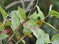 Eucalyptus globulus (Blue Gum) Crater Rd., Maui May 20, 2016 (26539470223).jpg