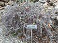 Euphorbia beharensis var. guillemetii Orto botanico di Catania 101839.jpg