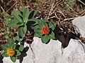 Euphorbia capitulata.JPG