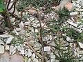 Euphorbia croizatii - Palmengarten Frankfurt - DSC01694.JPG