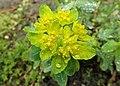 Euphorbia epithymoides kz04.jpg