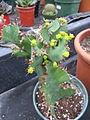 Euphorbia grandicornis (5057624067).jpg