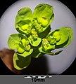 Euphorbia helioscopia sl9.jpg